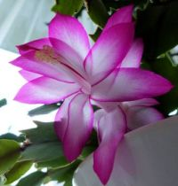 my first Christmas cactus flower this season