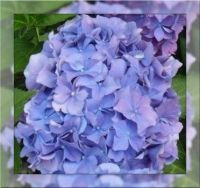 Hortenzie - detail...  Hydrangea - detail ...
