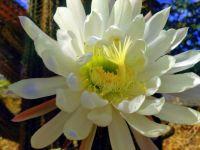 Night blooming cereus cactus flower