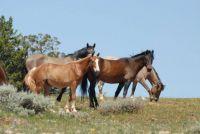 PRYOR MOUNTAIN HORSES