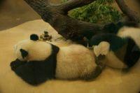 panda's vienna