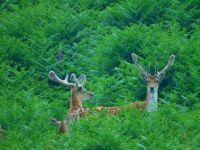 One Female & Two Male Fallow Deer Edinample Loch Earn July 8th 2015 #2