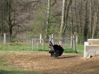 The turkey ...