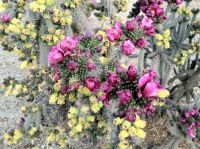 Cholla in bloom