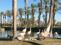 Flamingos in Palm Springs!