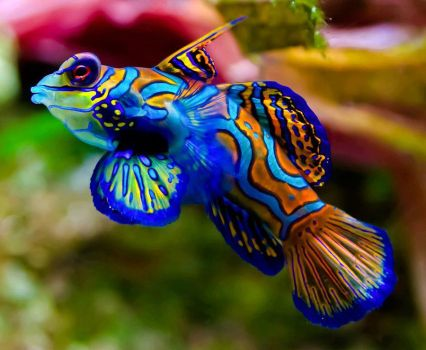 The mandarinfish or mandarin dragonet