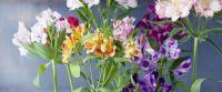 .Alstroemeria lily (peruvian lily)