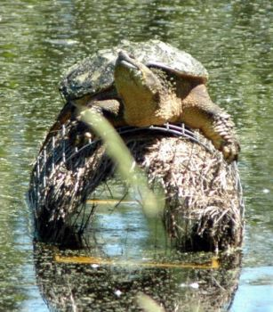 Snapping Turtle sunning on Mallard nest. Forgive me, but I eat baby ducks!
