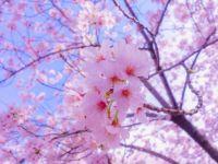 sakura_flowers -challenge