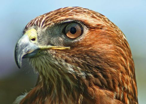 red tailed hawk - close up