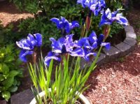 Same Blue Iris -- again, I think that's what these are.