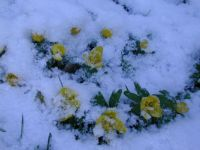 aconites in the snow