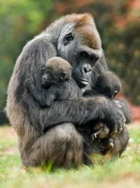 momma gorilla and her babies