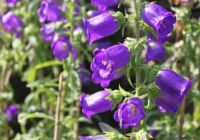 Campanula-Bellflower  (for a partial shade plant)