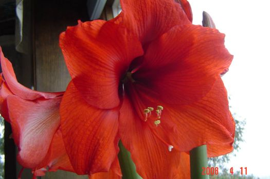 amaryllis from a few years ago
