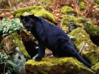 Black cougar on a rock