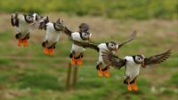 Make some room - Puffin landing!!!