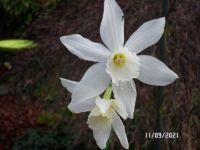 Tri Daffodil
