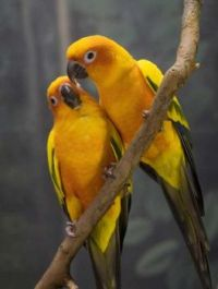 yellow-Love-Birds