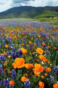Bluebonnets and California Poppies