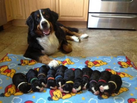 proud mama bernese