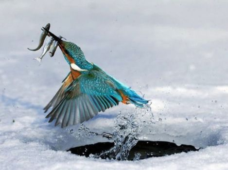 Perfect Animal Shots : Kingfisher
