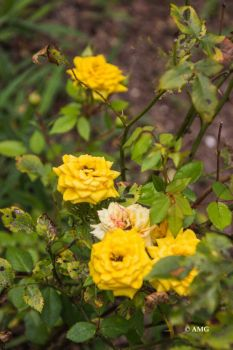Yellow Mini Rose