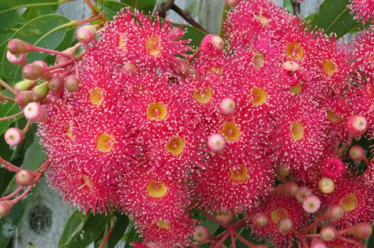 Close-up of the Red GumTree flowers .....