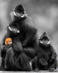 Francois Langur monkeys