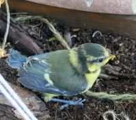 close encounter with a bluetit chick :)