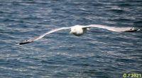 Herring Gull Fly