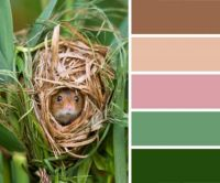 Harvest Mouse in a Nest