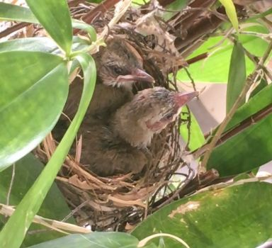 Yellow-vented Bulbul babies