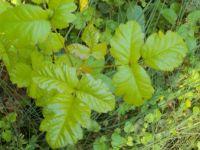 Not nice plants: Poison Oak