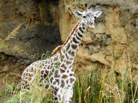 Giraffe at Animal Kingdom!