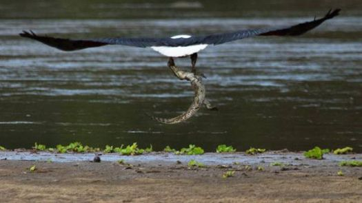 Eagle with juvenile Nile crocodile