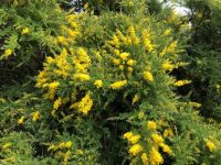 Scottish Sweetbroom