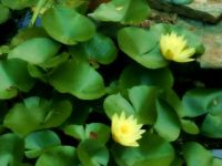 Maysville waterlilies