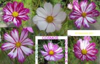 Cosmos or Cosmea collage    (challenge)