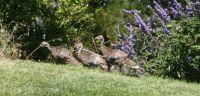 Turkeys in my back yard in July.