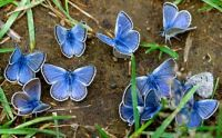 Blue butterflies (see comment)