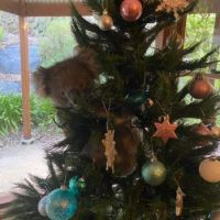 To See Video copy/paste and google: Australian family returns home to find koala in Christmas tree 5 KTLA