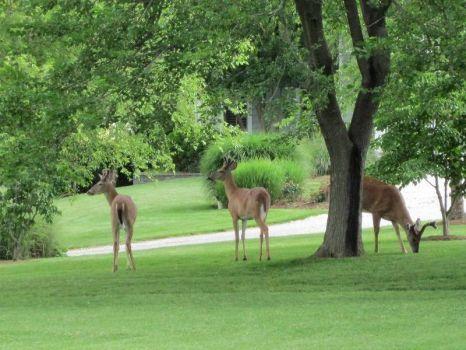 Bambi invades suburbia