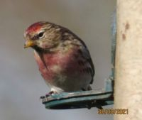 A very red Redpoll