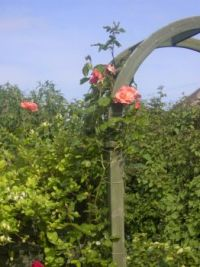 Climbing Rose on Arch