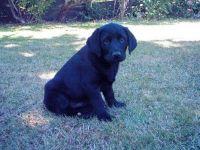 Puppy Onyx