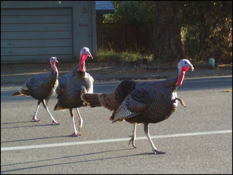 Write a Caption!  turkeys