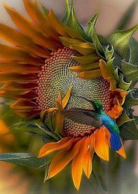 Humming bird and sunflower