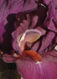 Tall bearded iris Vizier