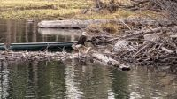 Bald Eagle at Fallen Leaf Lake, Tahoe